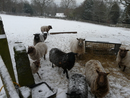 Hungry sheep in the snow